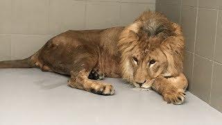 Verwaarloosde Simba na lange reis aangekomen bij Stichting Leeuw