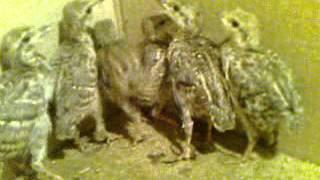 preview picture of video 'Pak Quetta Qadu Nasal Chakor Chicks'
