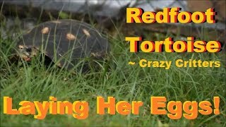 Redfoot Tortoise Laying Her Eggs @ Crazy Critters Inc.!