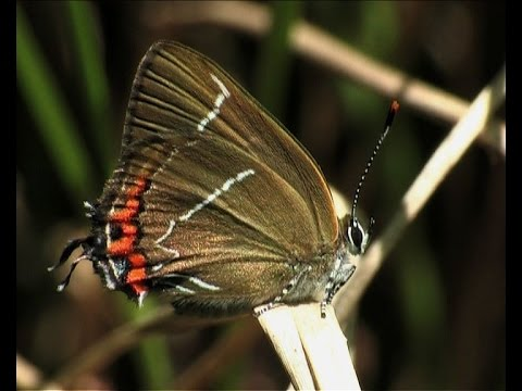 The White letter Hairstreak (Satyrium w-album)
