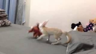 Fennec Fox vs Red Panda
