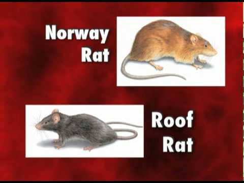 Video Diseases Carried by Rats and Mice - Orkin Pest Control