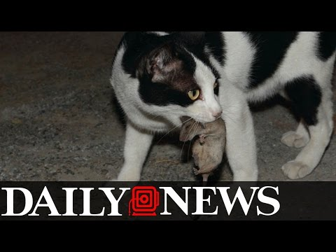 Feral Cats Have Been Dispatched In New York City To Help Control The Rats