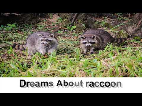 Dream about raccoon | Dreams Meaning and Interpretation