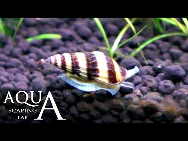 Aquascaping Lab - Killer Snail Anentome Helena description / Clea Helena Lumaca killer descrizione