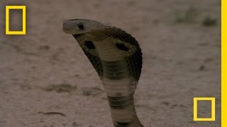 Mongoose - Hunting an Indian Cobra