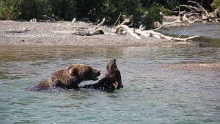 #Камчатка Медведи дурачатся и ловят рыбу в 10 метрах. Курильское озеро