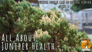 Juniper Bonsai Health