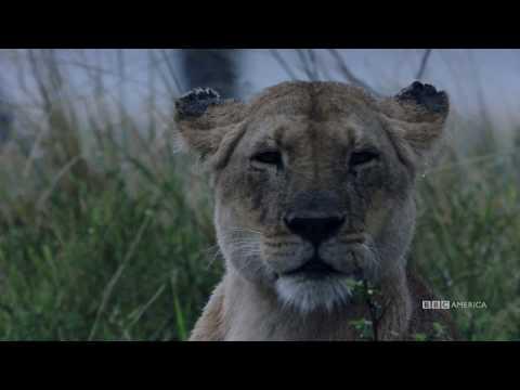 סרטוני טבע של ה-BBC: לביאה