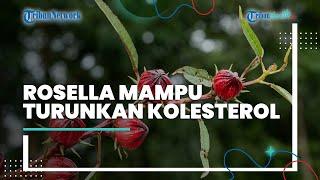 Bunga Rosella Terkenal dengan Segudang Manfaat, Diantaranya Mampu Menurunkan Kadar Kolesterol