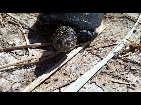 Черепахи в природе.Болотная или речная черепаха.