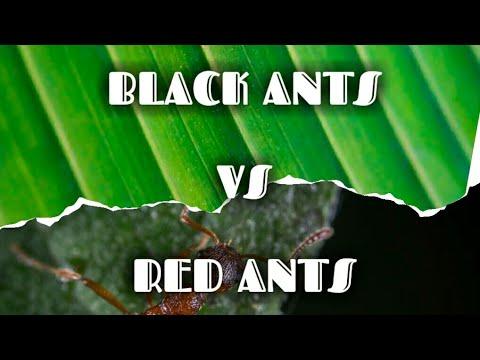 Black ants vs red ants