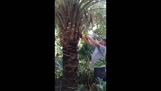 How to Trim a Pindo Palm