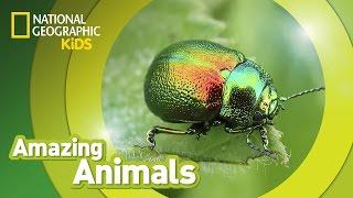 Beetle 🐞 | Amazing Animals