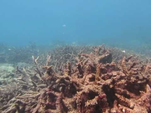 Large stands of dead coral skeletons, mainly Acropora spp. stand testament to the lethal effects of sea water temperatures that exceeded physiological limits of survival for these hard corals during the summer in 2015/16. This video was taken at on the reef slope Sir Charles Hardy Island (1) in the Cape Grenville sector.