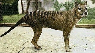 The Tragic Tale of the Tasmanian Tiger