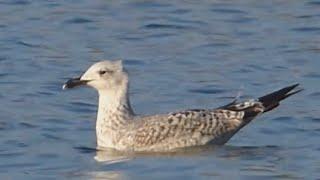 preview picture of video 'Ptice Hrvatske - Riječni galeb (Larus ridibundus) (Birds of Croatia - Black-headed Gull) (3/4)'