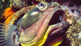 Sarcastic Fringehead Fights For Territory | Life | BBC Earth