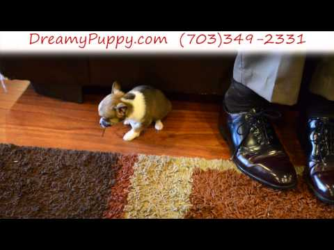 Stunning Pomchi Male Puppy 2