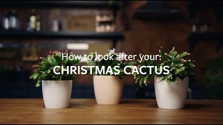 How to look after your Christmas Cactus | Grow at Home | RHS