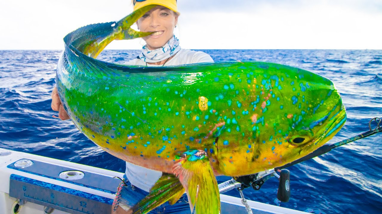 NEW Bikini rules in effect! Kingfish, Dolphin & Wahoo Offshore Slam!