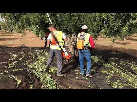 Recolección de olivos centenarios en finca ecológica Deifontes (Granada). 26-10-2018