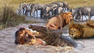 Most Amazing Moments Of Underwater Lion VS Crocodile Great Battle  Wild Animals Attacks 2019
