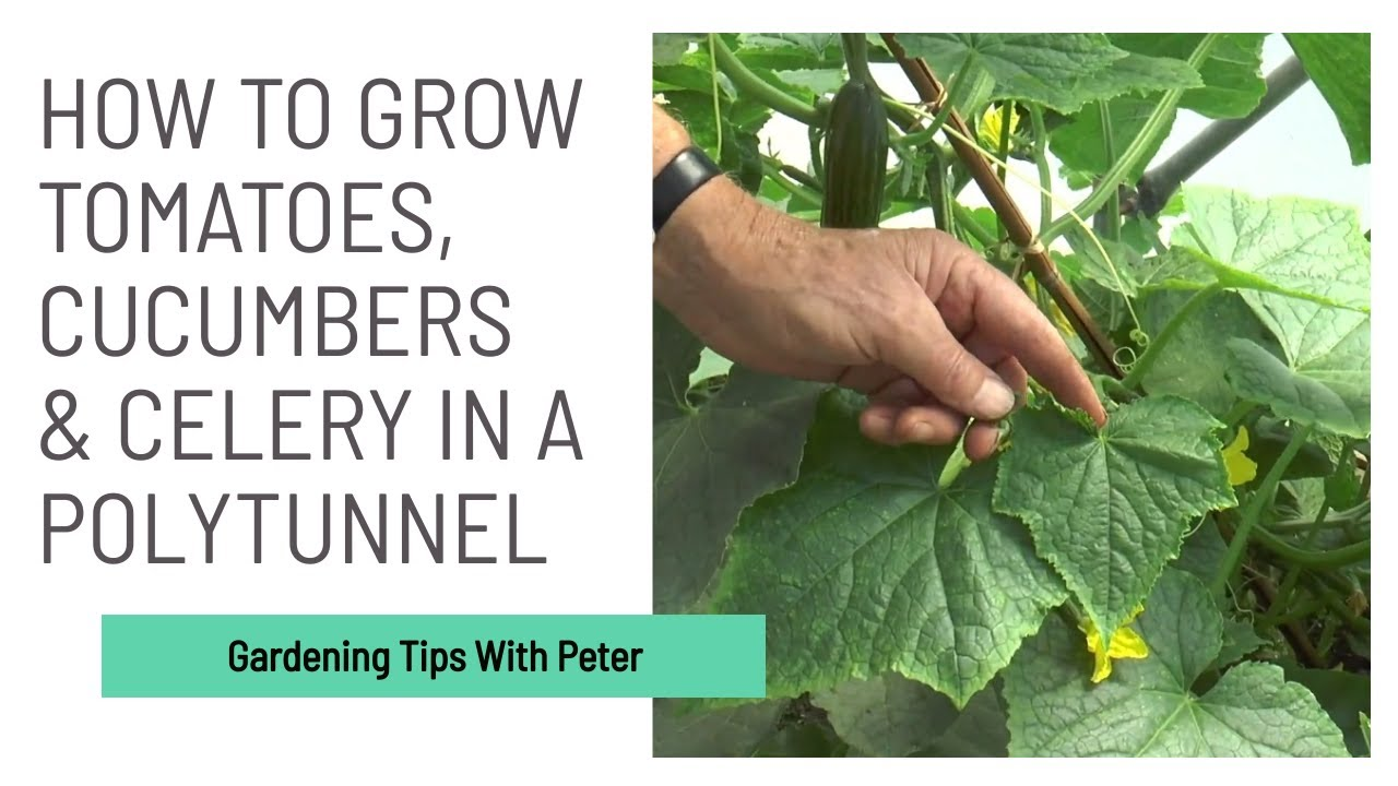 Caring for Tomatoes, Cucumbers and Celery in a Polytunnel