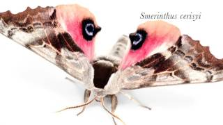 Eyed sphinx moths