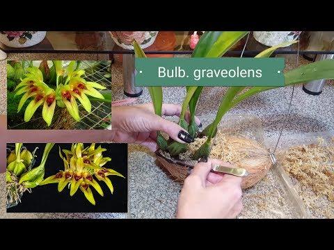 Bulbophyllum graveolens   Пересадка в кокос