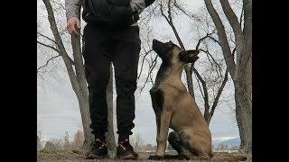 TEACHING YOUR DOG BASIC COMMANDS! | BELGIAN MALINIOS