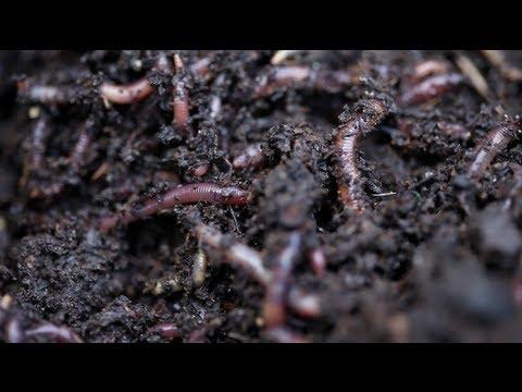 Lapis gamot para sa warts at parasites sa katawan ng tao
