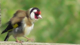 Young switty goldfinch in nature مقنين سويتى صغير لندن sofbvb