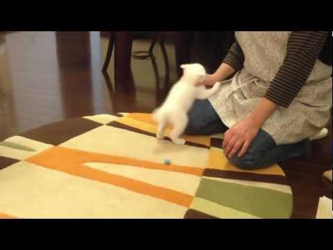 白子猫「チロ」捕まえた!自ら捕まった!? Chiro the white cat: Mommy wins!