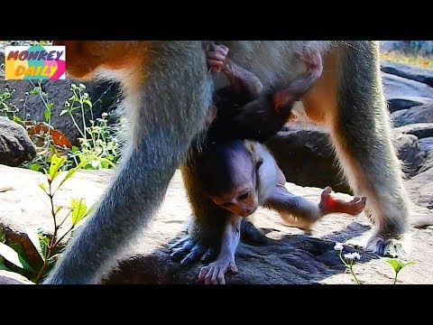 Poor Jilla fail to hug coz Dee Dee don't want with |She love & care only her baby |Monkey Daily 5017