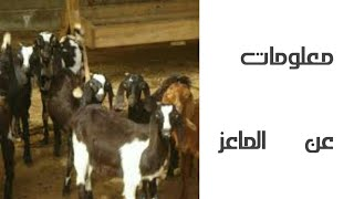 أنواع الماعز 🐐/جميع المعلومات عنها