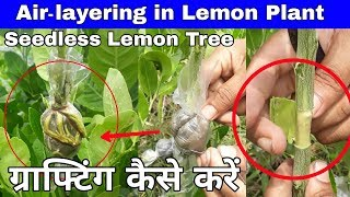 How To Air Layering In Lemon Tree At Home In Simplely || Air Layering Fruit Trees ||