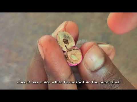 Determining  teak seed viability
