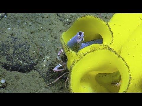 внутри ярко-желтой губки, глубина 815 м, остров Анакапа (Anacapa), острова Чаннел (Channel), у побережья Южной Калифорнии, Тихий океан, 2018