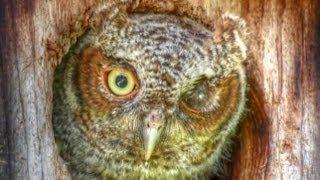 Cute Winking Blinking Baby Screech Owl