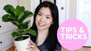 Fiddle Leaf Fig Care   Tips and Tricks for Ficus Lyrata