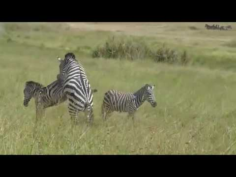 Attempted Zebra Matting Video in Serengeti National Park, Tanzania