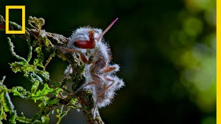 'Zombie' Parasite Takes Over Insects Through Mind Control | National Geographic thumbnail
