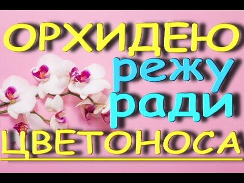 "РЕЖУ орхидею РАДИ цветоноса.Орхидея phalaenopsis KV 'Beauty' (фаленопсис КВ ""Бьюти"" - ""Красотка"")."