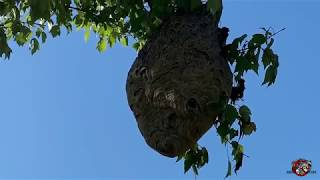Removing a Huge Hornets Nest from a Tree