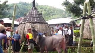 Bejo Pesta Adat Potong Kerbau & Babi 21 6 2013