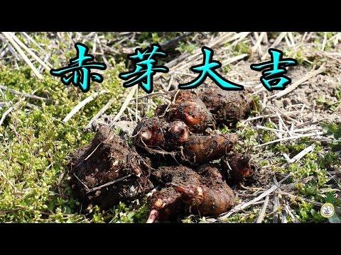 サトイモ 里芋 赤芽大吉 Colocasia esculenta【 うろうろ和歌山 】タロイモ類の仲間でサトイモ科の植物