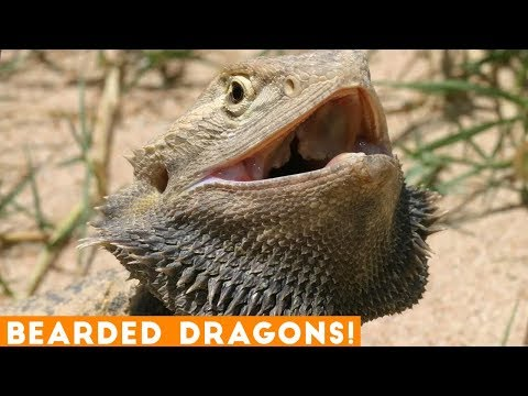 Funniest Cool Bearded Dragon Videos Weekly Compilation 2018 | Funny Pet Videos