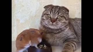 Хомяк и кот (озвучка)