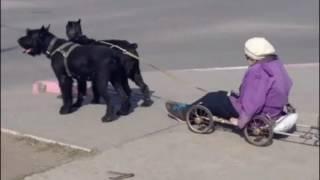 В Казахстане Старушка Передвигается на Собачьей Упряжке